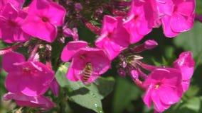 Wespzitting op een roze Flox stock video