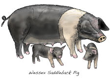 Wessex Saddleback Pig Royalty Free Stock Photography