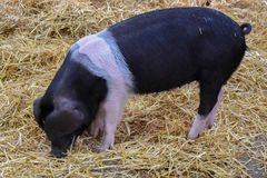 The Wessex Saddleback Pig. The Wessex Saddleback or Wessex Pig is a breed of domestic pig originating in the West Country of England stock photography