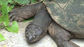 West African Black Turtle sunning itself stock video footage
