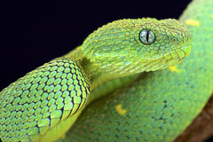 West African bush viper (Atheris chlorechis). The West African bush viper (Atheris chlorechis) is actually very camouflaged between the bright rain forest leafs Stock Image