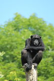 West african chimpanzee. The west african chimpanzee sitting on the wood post stock photo