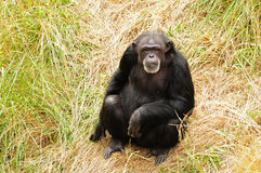 West african Chimpanzee portrait. African chimpanzee looking at the camera in the wild stock photography