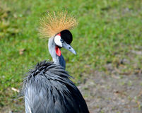 West African Crane Royalty Free Stock Images