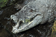West African crocodile Royalty Free Stock Images