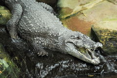 West African crocodile Royalty Free Stock Photo