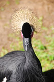 West african crowned crane Stock Image