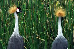 West african crowned crane  Royalty Free Stock Image