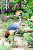 West african crowned crane bird Royalty Free Stock Images
