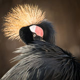 West African Crowned Crane II Stock Photography