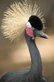 West african crowned crane three quarter length. Beautiful west african crowned crane three quarter length close up photograph Stock Image