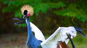 West African Crowned Cranes Royalty Free Stock Photos