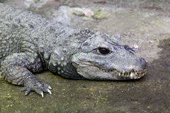 West African Dwarf Crocodile Stock Photos