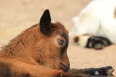 West african dwarf goat Stock Photo