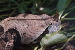 West African Gaboon Viper - Bitis gabonica rhinoceros Royalty Free Stock Images