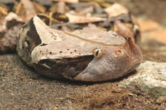 West african gaboon viper. The detail of west african gaboon viper Royalty Free Stock Photos