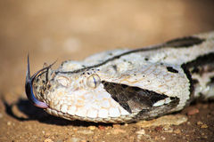 West African Gaboon Viper Royalty Free Stock Photo