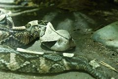 West african gaboon viper Royalty Free Stock Images