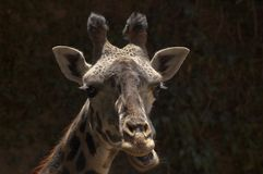 West African Giraffe close up chewing open mouth - Los Angeles Zoo royalty free stock photography