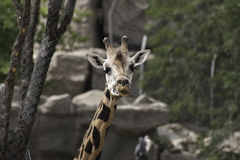 West african giraffe Royalty Free Stock Photos