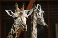 West african giraffes Royalty Free Stock Photography