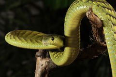 West African Green Mamba Royalty Free Stock Photography