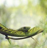 West African Green Mamba Stock Photo