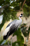 West African Grey Crowned Crane Stock Images