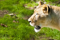 West African Lioness. Female West African lion paces the grounds in her zoo habitat royalty free stock photo