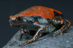 West African Rubber frog / Phrynomantis microps Royalty Free Stock Photography