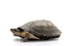 West African Sideneck Turtles Stock Images