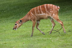 West african sitatunga. The west african sitatunga in the meadow Royalty Free Stock Image