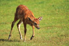 West african sitatunga Royalty Free Stock Photo