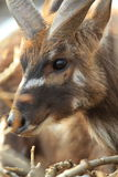 West African sitatunga Stock Photos