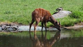 West African Sitatunga. Tragelaphus spekii gratus drinking water stock video