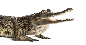 Free West African Slender-snouted Crocodile, 3 Years Old, Isolated Stock Photography - 141771862