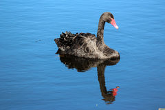 West Australian Black Swan on Blue Lake Royalty Free Stock Photography