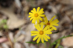 West Australian Native Wildflower Stock Photography