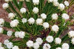 West Australian Native Wildflower White Pimelia Royalty Free Stock Photography