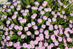West Australian Wild flower Pimelia Royalty Free Stock Photos