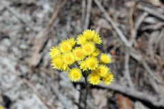 West Australian Wildflower Yellow Everlastings Royalty Free Stock Photography
