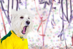 West at Carnival party. West Highland White Terrier enjoying the Carnival Stock Photo