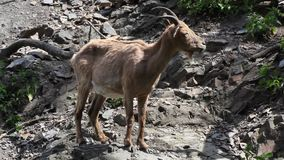 West Caucasian goat. Capra Caucasica on a steep rock stock footage