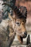 West Caucasian tur (Capra caucasica). Royalty Free Stock Image