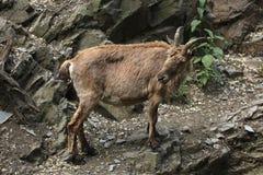 West Caucasian tur (Capra caucasica) Stock Images