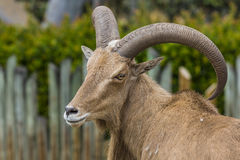 West caucasian tur goat Royalty Free Stock Photography