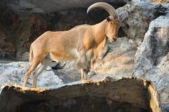 West caucasian tur goat Stock Images