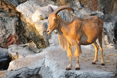 West caucasian tur goat Royalty Free Stock Images