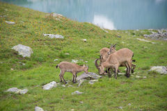 West Caucasian turs, Caucasian National Park Stock Images