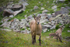 West Caucasian turs, Caucasian National Park Royalty Free Stock Photos
